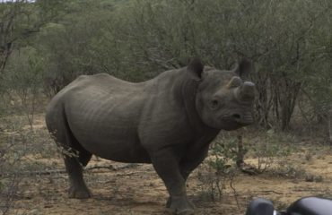 Black_Rhino1-0800702d