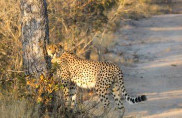Cheetah_1-021f6f4e