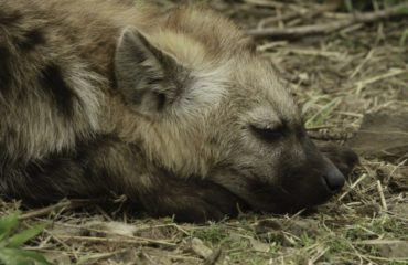Hyena_Sleeping1-e7acf2a2