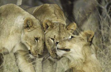 Lions_5-3cf09ed8