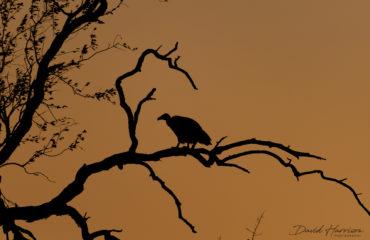 Vulture_Sky